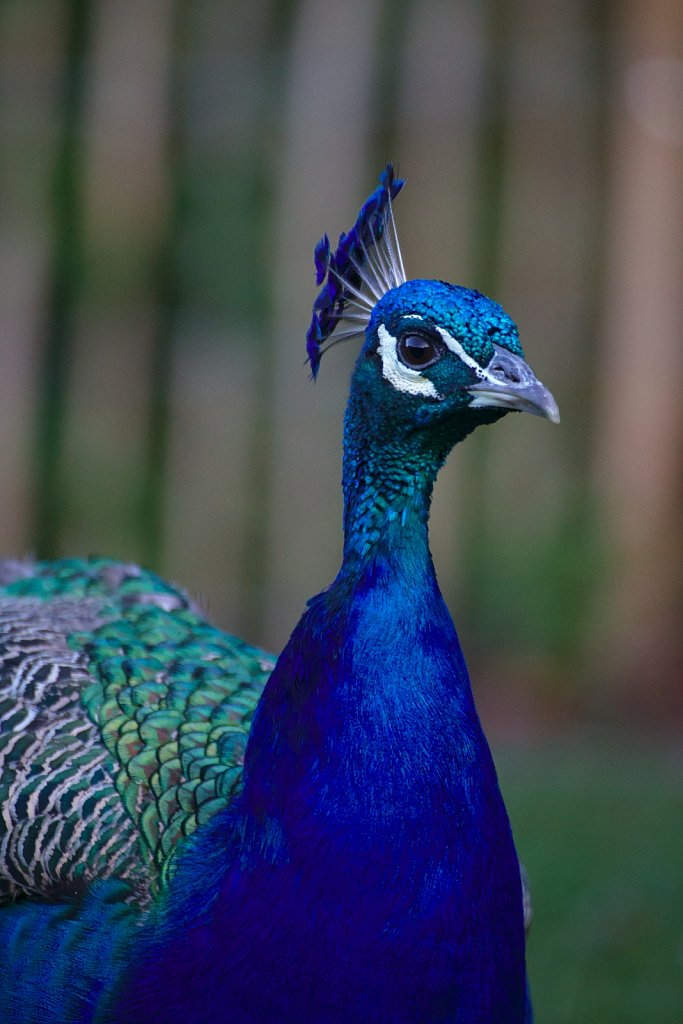 Eye Contact With Peacock
