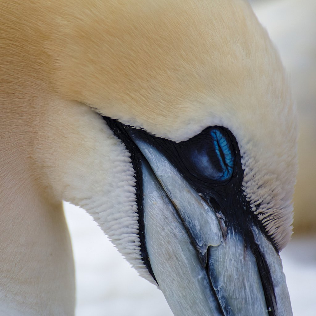 Northern gannet at sleep