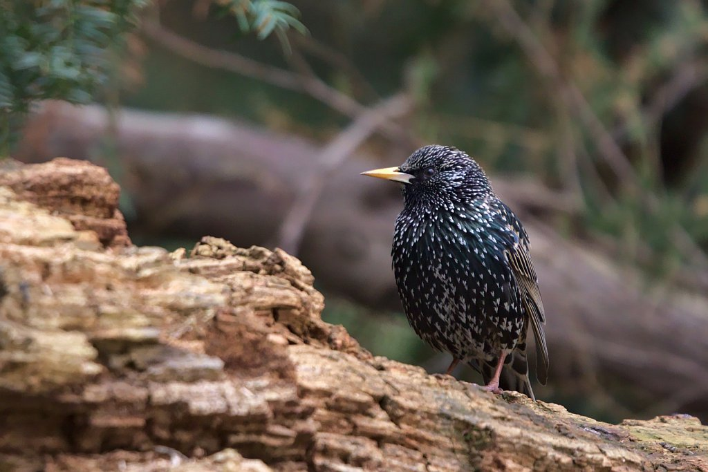 Star / Common Starling