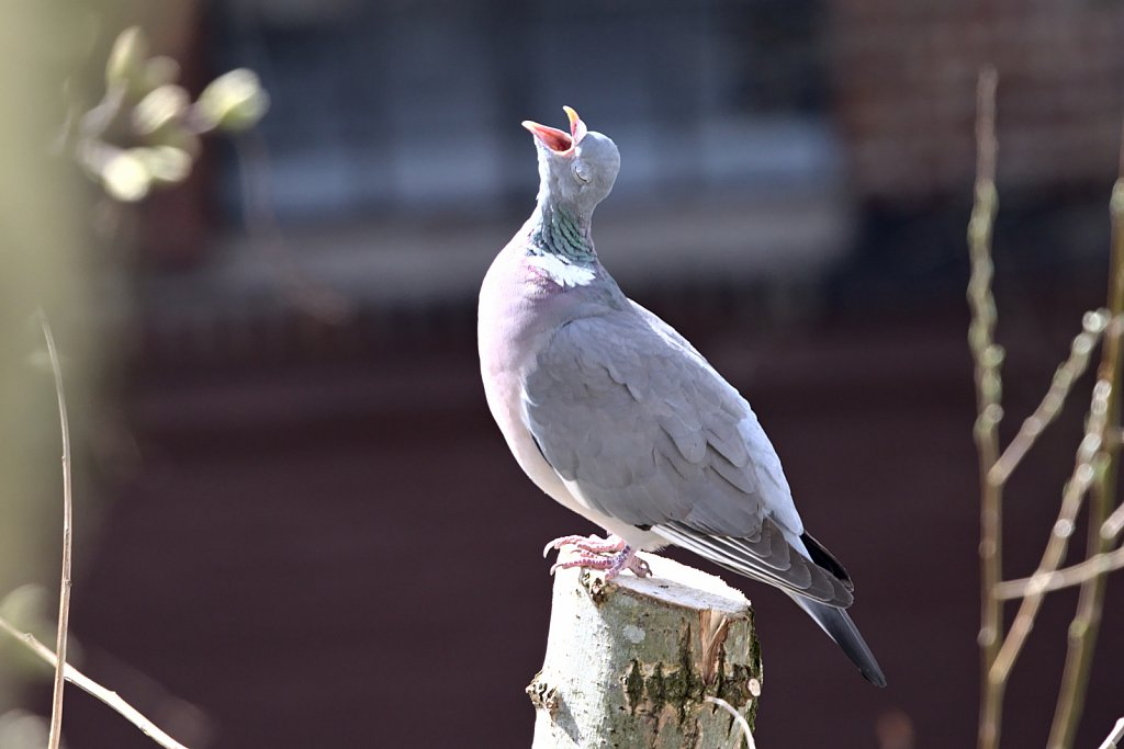 Ringeltaube / Common Wood Pigeon